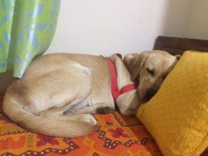 Gabbu napping